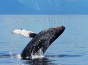 Commission Baleinière Internationale réformer pour préserver