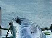Chasse baleinière l'Islande s'entête pression diplomatique s'intensifie