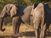 éléphants fuient Zimbabwe centaines