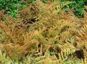 Fougère cuivrée Dryopteris erythrosora
