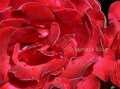 Sous doigts, velours d'une rose