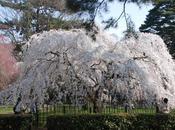 Cerisier (Guillevic)