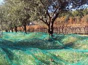 Olives piquées
