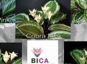 nouvelle plante: Bicajoux