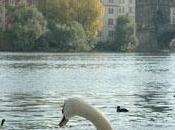 Pragues, pont, cygnes