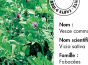 Semer Vesce Cerdagne comme engrais vert