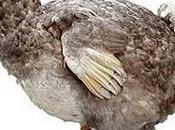 bibo dodo