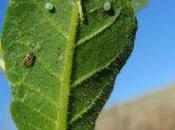 plante appelle punaise pour détruire chenille l'attaque.