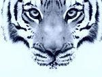 Baume tigre bleu