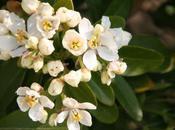 Choisya, floraison continue