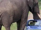 éléphant, trompe énormément