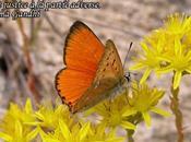 Parole Papillons Cuivré Flambé