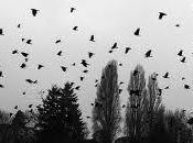 Invasion corbeaux Californie