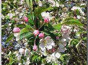 Fleurs cerisier sauvage