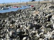 L'huître creuse sauvage, espèce invasive