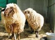 Adoptons moutons