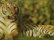 Chasse tigre