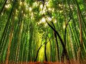 Forêt Bambou Sagano Japon