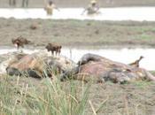 morts inexpliquées neuf hippopotames Singou