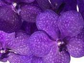 star fête Mères, l'Orchidée Vanda
