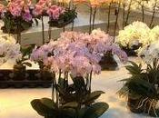 Conseils pour garder longtemps votre Orchidée Phalaenopsis