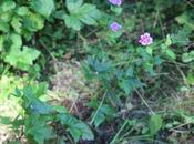 Geranium Inula, jolies sauvageonnes