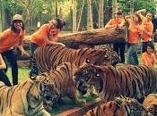 Tiger Kingdom Chiang [HD]