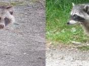 Evolution populations ratons laveurs chiens viverrins France