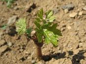 Arrosage nécessaire notre nouvelle plantation Pinot noir