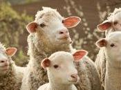 éleveurs sanctionnés pour avoir refusé d'identifier leurs brebis avec puces RFID
