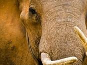 Massacre éléphants Afrique: malédiction l'ivoire