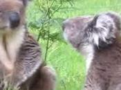Bagarre entre deux Koalas