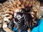 Nouvelle naissance chatons bengals