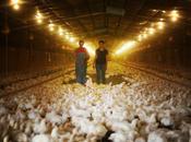 élevage intensif poulets Etats-Unis