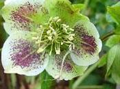 vivace fleurie: rose noël hellébore