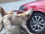 homme frappe chien, l'animal venge voiture