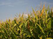 Deux après, quels impacts recherche l'équipe Séralini toxicité Roundup d'un maïs