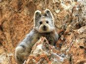 L'Ili Pika, petit mammifère trop mignon