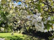 Fleurs cerisiers, dignité d'un homme