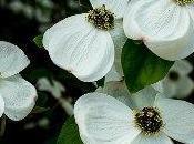 arbre grandes fleurs blanches: cornouiller nuttal