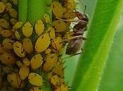 fourmi, agricultrice comme autres