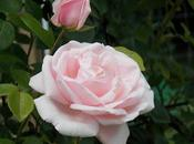 L'histoire rosier Joëlle