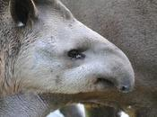 {animal semaine} tapir terrestre.