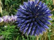 Oursin bleu Azurite, Echinops ritro