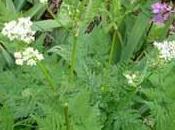 plante condimentaire cerfeuil
