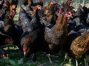 métiers No.9 poulettes Calvette