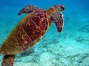 L'Homme responsable maladie plus virulente chez tortues l'herpès
