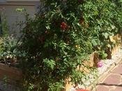 production carrés potagers, tomates cerises