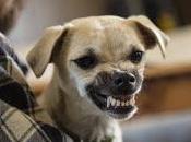 Dresser chien agressif