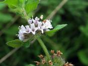 Menthe champs (Mentha arvensis)